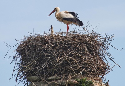 Stork nesting at Chateau de La Riviere near La Rougerie Farm