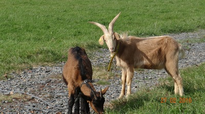Goats at La Rougerie Farm
